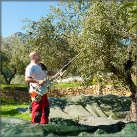 Olive Picking on Thassos Island, Greece